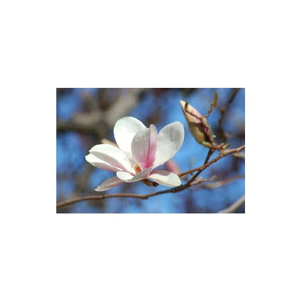 Olej do masażu Magnolia 200ml